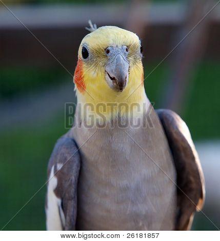 Un cockatiel dando la mejilla a la cámara
