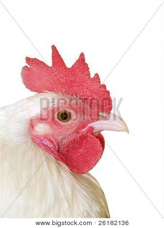 White Rooster isolated with clipping path