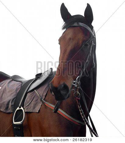 Bay Racehorse isolated with clipping path