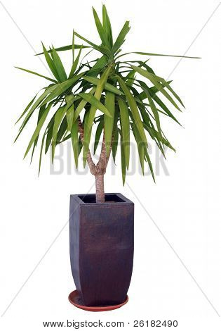 Yucca isolated with Clipping path