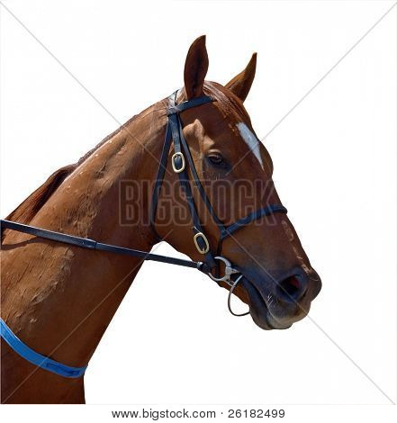 Chestnut Racehorse isolated with clipping path