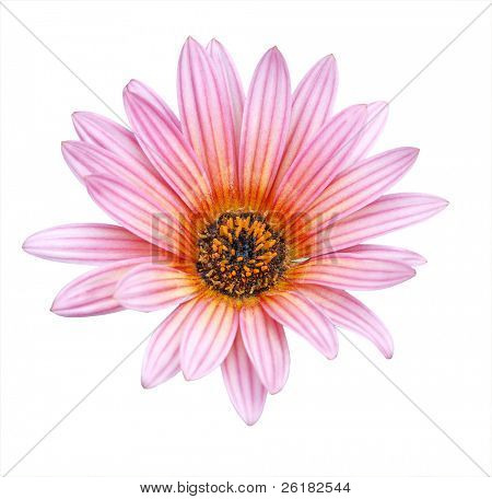 Pink Gazania isolated with clipping path