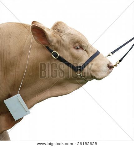 Gelbvieh Bull isolated with clipping path