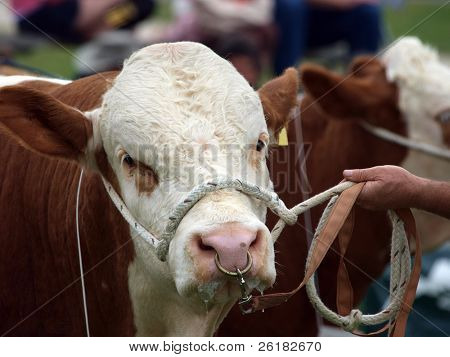 Polled Hereford Stier mit Halfter & Nase-Seil ring