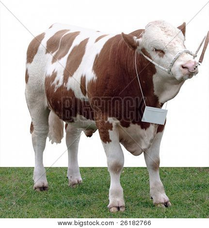 Simmental Bull isolated with clipping Path