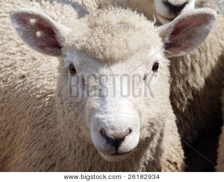 Young sheep with two punch holes as an earmark