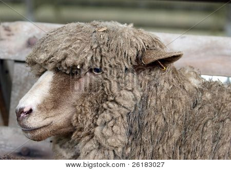 Polled Dorset Sheep with a woolly fringe
