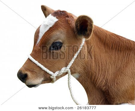 Ayrshire Calf with Halter isolated with clipping path