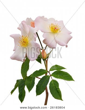 The Rose Sally Holmes isolated with clipping path