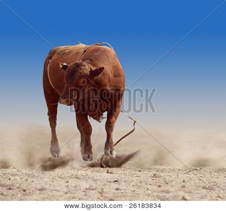 Red Rodeo Bull after Dumping his Rider isolated with clipping path