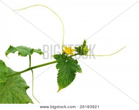 Pumpkin Flower on Vine isolated with clipping paath