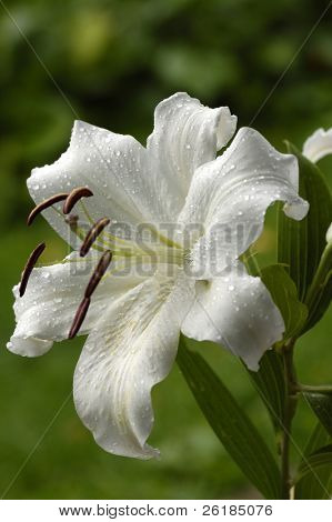 white madonna lily in the rain on green background