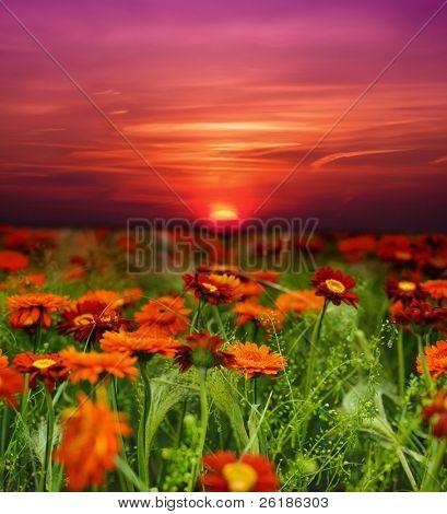 Sonnenuntergang Blumenfeld