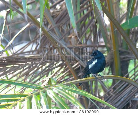 The world's seventh most endangered bird, the Seychelles magpie robin (Copsychus sechellarum), in the wild on Fregate Island. Just over 100 of the critically endangered birds remain and intense efforts are being made to ensure their survival.