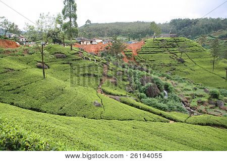 A tea plantation in Sri Lanka. A Hindu temple and settlement are atop the hill in the background and workers (no identifiable faces) are making their way down the path into the tea fields.