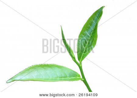 Tea plant's leaves: the three at the tip of the stem which are picked for tea. Isolated on white