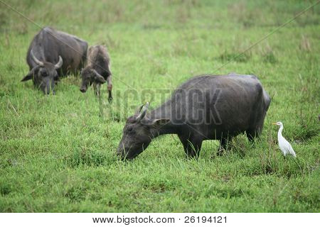 A pair of water buffalo (Bubalus bubalus) with a calf, while a cattle egret (Bulbulcus ibis) looking on. Seen in a field in Sri Lanka