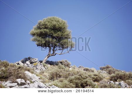 An isolated olive tree on top of a Cretan hill. The Karst limestone (Maquis) landform occurs above the usual olive-growing zone.