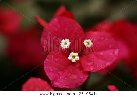 Extreme close-up on a bougainvillea, showing the tiny flowers inside the brightly coloured bracts (modified leaves). Macro with very shallow depth of field. With water droplets. (5D file unsharpened)