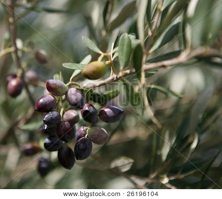 An abundant crop of black olives ripening on a tree.