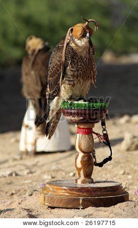 A sportsman's falcon, Falco peregrinus, at a camp in the Arabian desert