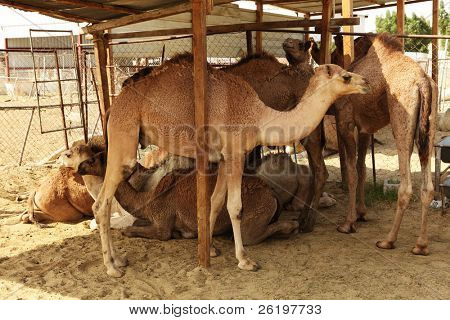 Camels gather in a shaded part of their enclosure at the livestock market in Doha, Qatar