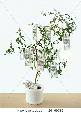 One hundred dollar bills growing on tree