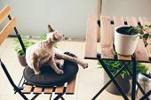 Devon Rex Cat Walking On The Balcony And Enjoying Fresh Air. Cat Is Sitting On Wooden Chair poster