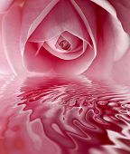 picture of pink rose  - beautiful pink rose center close up shoot - JPG