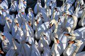 Swan Meeting
