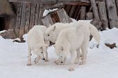 Three Wild Alaskan Tundra Wolves Are Playing On White Snow. Polar Wolf Or White Wolf. poster