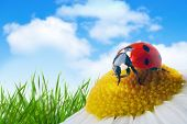 pic of oxen  - ladybug on flower under blue sky with clouds - JPG
