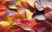 Autumn Leaves. Colorful Autumn Leaves Of Wild Grapes. Autumn Time. Autumn Wallpaper. Autumn Backgrou poster