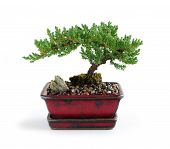 picture of bonsai tree  - Bonsai tree in ceramic pot on white background - JPG