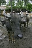 image of carabao  - A Fiilipino water buffalo or  - JPG