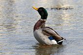 A Male Mallard Drake Rearing Up Out Of The Water poster