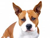 American Pitbull isolated with clipping path