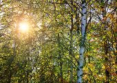 Birch Forest Nature With Sun Shining Through Trees On Summer Day. Russian Nature With Warm Sunrays G poster