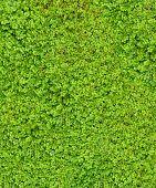 picture of irish moss  - Baby Tears  - JPG