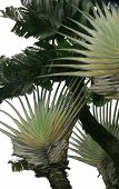 A Traveller's Palm in Sri Lanka. Species Ravenala madagascariensis. It gets its name because it stores water in its bracts and was therefore a boon to travellers in its native Madagascar. poster