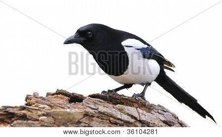 Isolated Magpie.