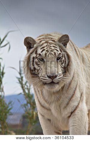 Siberian Tiger Standing And Looking At Camera