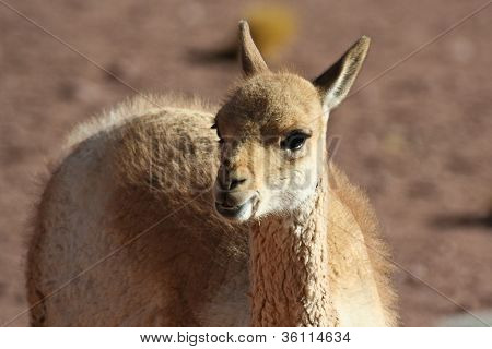Young Vicuna