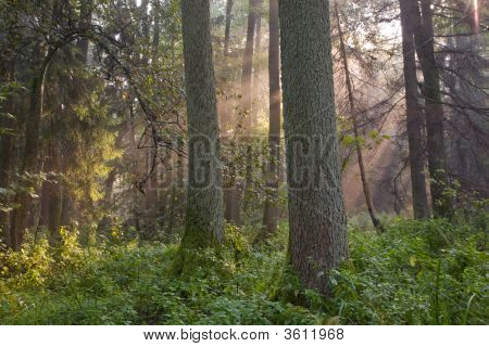 Natural Forest With Two Old Alder Tree