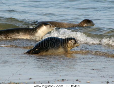 Seals At The Beach Of Helgoland