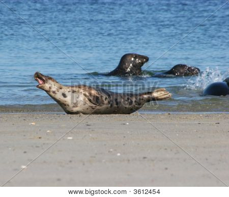 Seals At The Beach Of Helgoland DüNe (German North Sea)