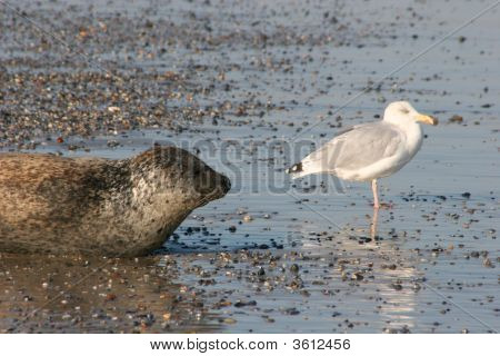 Seal And Sea Gull At The Beach