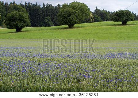 Blooming Cornflowers (Centaurea cyanus) in a wheat field