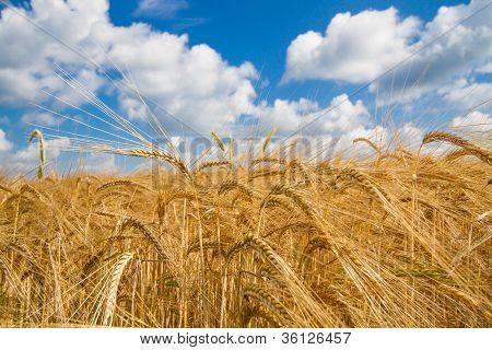 Grain field in Bavaria, Germany, in spring