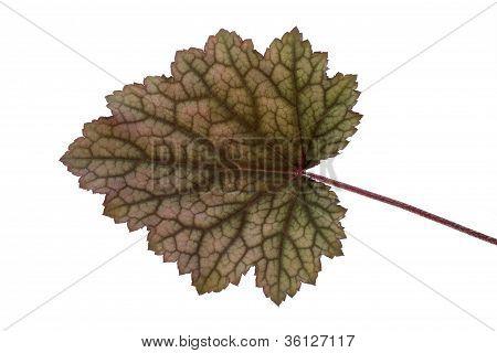 Leaf of an Obsidian Coral Bells (Heuchera) flower